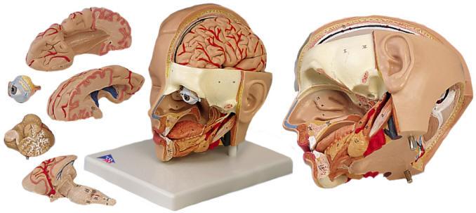 Human Head Anatomical Mdels