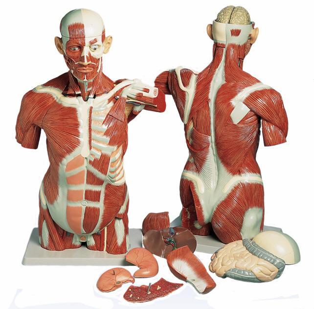 Muscle Torso Model Life Size
