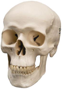 classic human skulls
