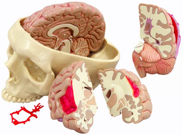 Human Skulls With Brains Anatomical Models