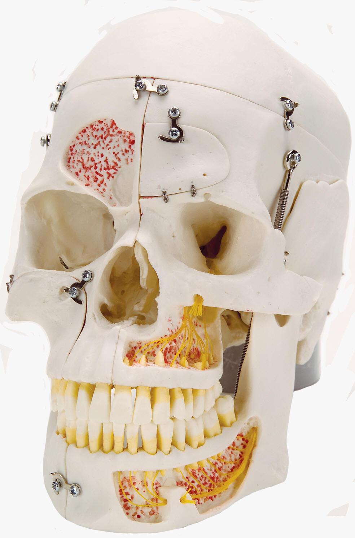 Deluxe Medical Demonstration Skull