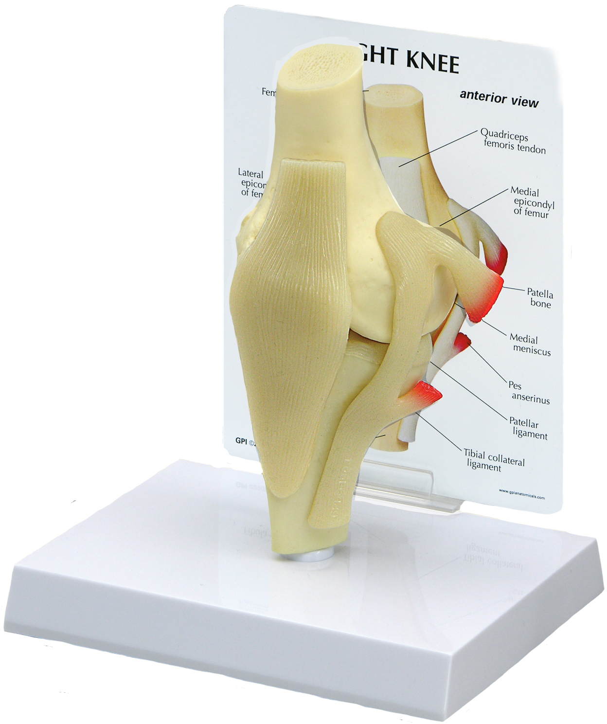 Human Knee Joint Models