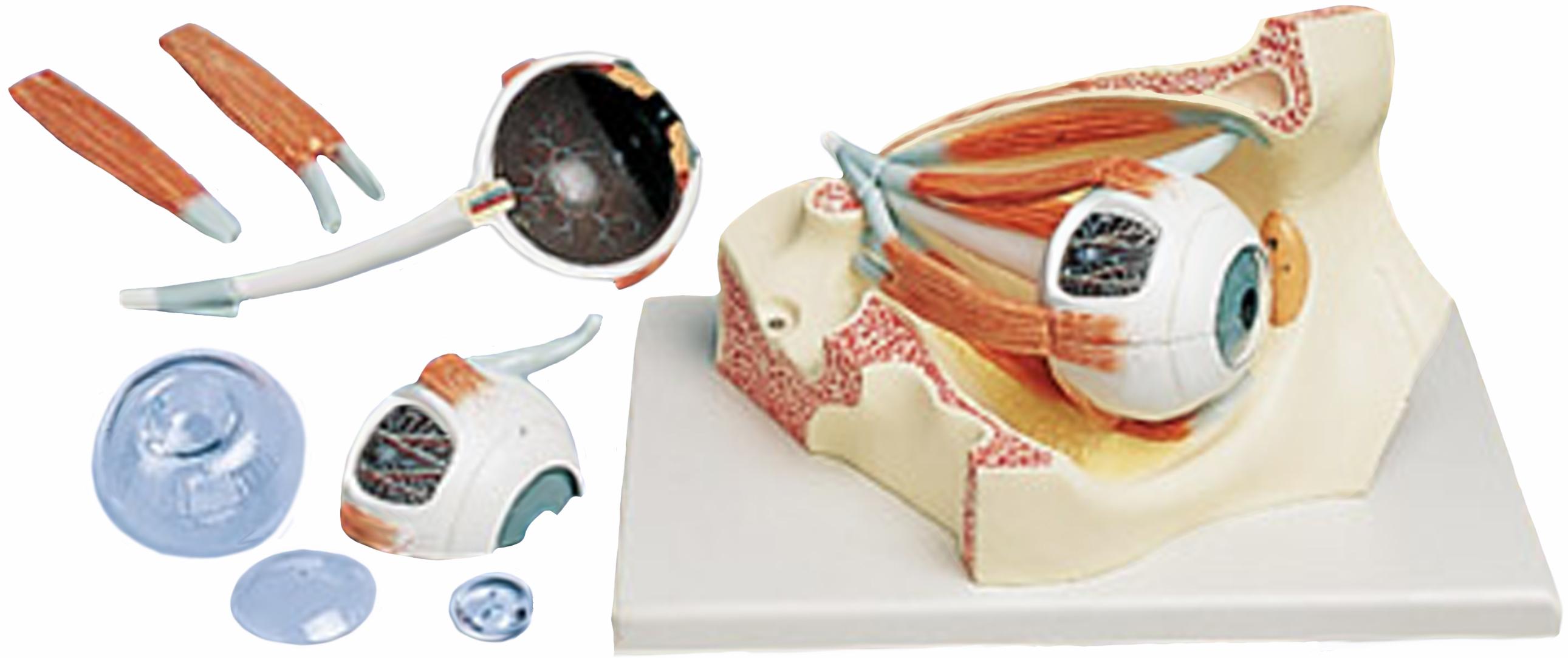 Human Eye Models Cross Section Cornea Conditions Cataract Eye