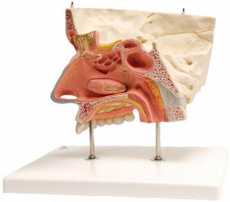 Anatomy of nose pertamini human nose and the sense of smell ccuart Image collections