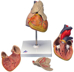 Classic Heart Models, Transparent Human Heart Model