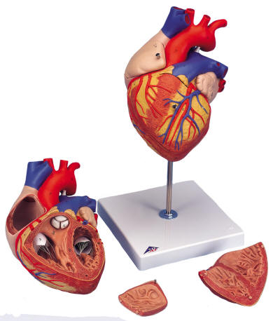 Human Heart with Bypass Model, Heart with Esophagus and Trachea