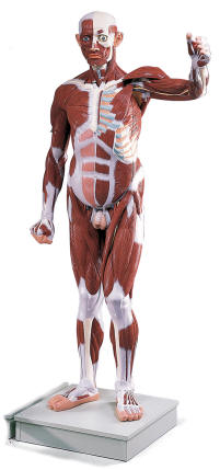 full body human muscle models, Muscles