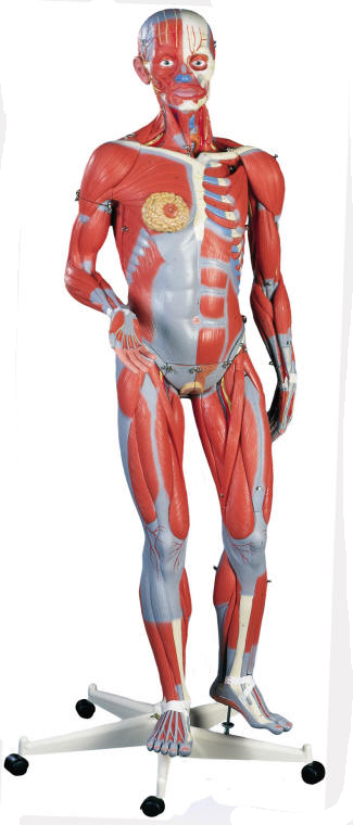 34 Life Size Human Muscle Model