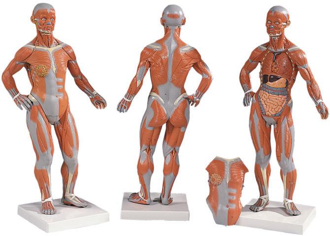 desktop human body muscle model, Muscles