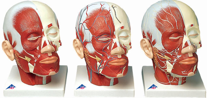head and face muscle models, Muscles