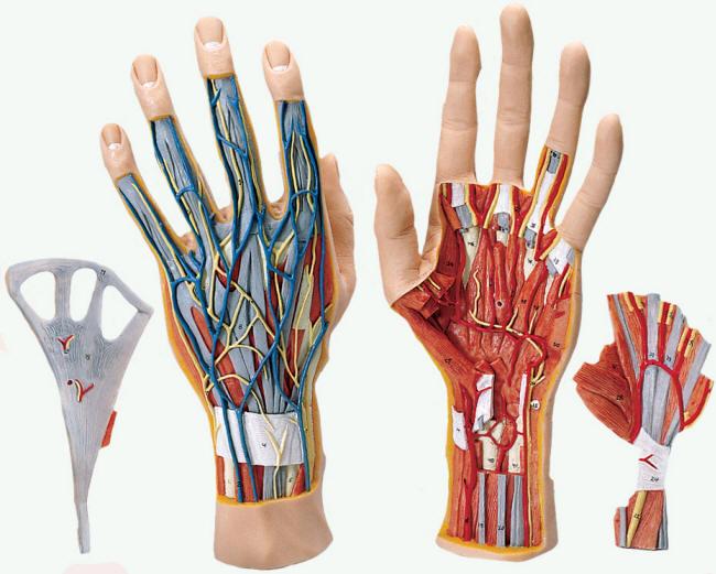 human hand models,